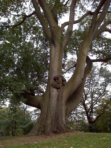 Prospect Park Tree